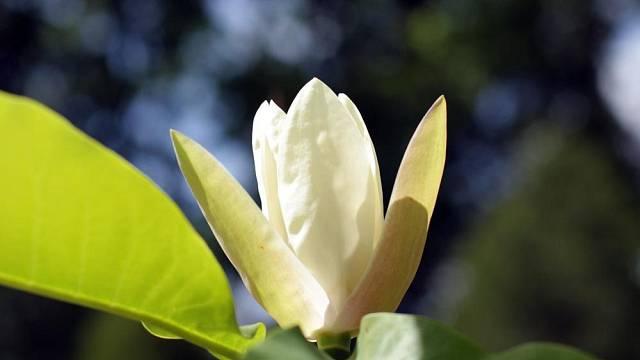 Šácholan obvejčitý (Magnolia obovata)