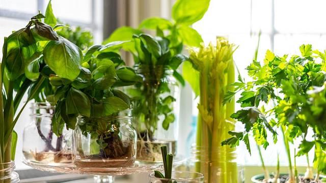 Pěstování rostlin ve vodě či v živném roztoku není složité, a přesto takto můžeme mnoho druhů rostlin pěstovat dlouhodobě.