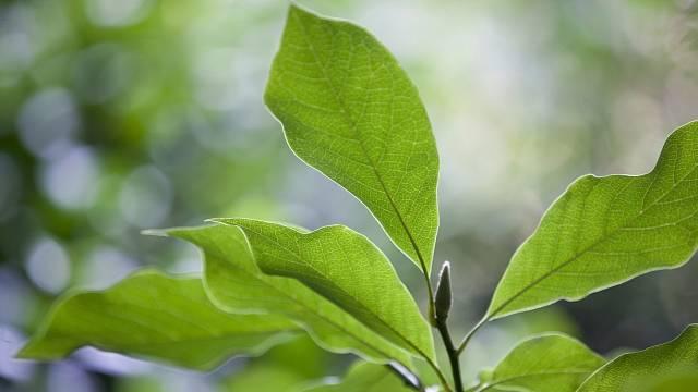 Listy magnolie