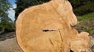 Pokácený kmen borovice lesní (Pinus sylvestris)