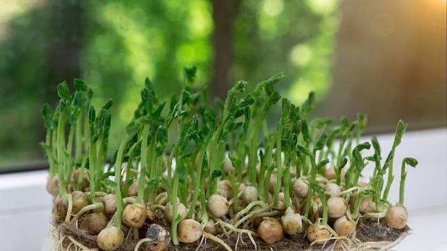 Princip tohoto typu pěstování jsme snad všichni zkoušeli i ve škole při klíčení hrachu a fazolí.