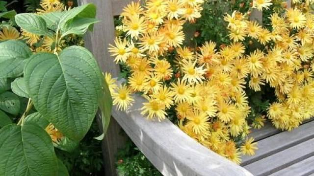 Žluté květy chryzantémy prorůstání zahradní lavičkou.