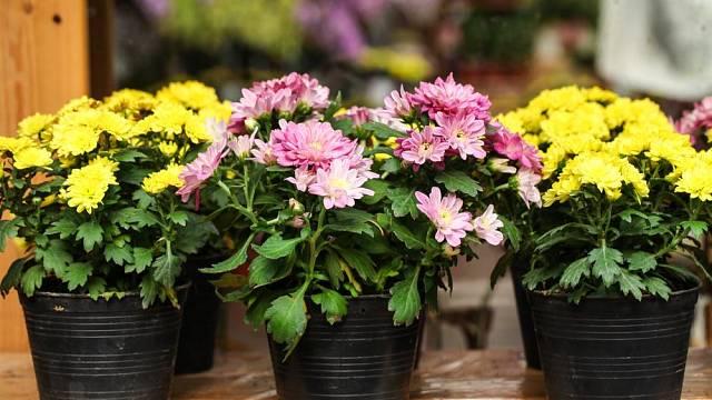 Něžné květy chryzantém zkrášlí váš podzim