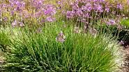 Česneková tráva