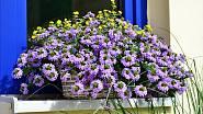 Vějířovka patří k výraznějším květinám