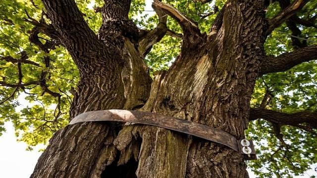 Strom je uvnitř vypálený, kmen zpevňuje kovová obruč.