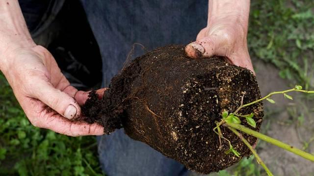 Kořenový systém rostliny je spíše širší než hluboký.