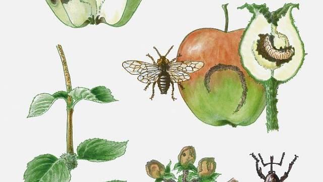 Mol, pilatka jablečná, mšice, sněť a rakovina.