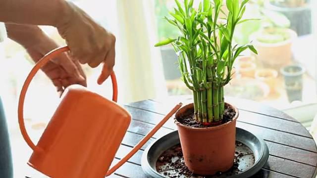 Dracaena sanderiana aneb Lucky Bamboo roste ve vodě, a tak nevadí, když ji dítě přelije.