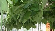 Typické luskovité plody