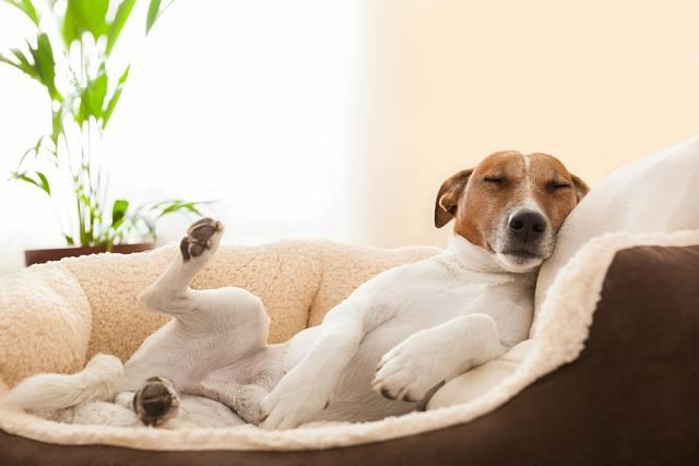 Jako prevenci torze žaludku nechte psa po jídle odpočívat, aby mohl v klidu trávit.