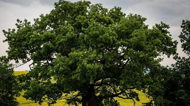 Bělolhotský baobab