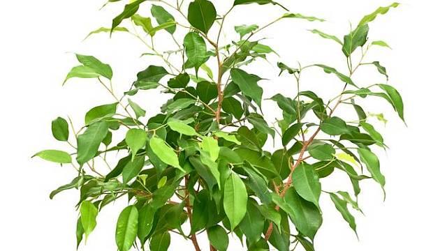 Ficus benjamina potřebuje dostatek světla a méně zálivky přes zimu