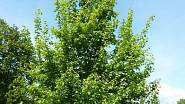 Javor babyka je opadavý strom se vzpřímenou korunou a štíhlou korunou.