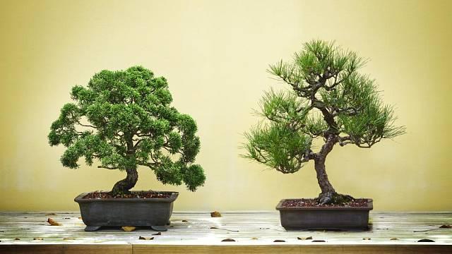 Polovzpřímené jehličnaté bonsaje.