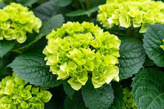 Květy hortenzie latnaté 'Little Lime' baví jemně nazelenalými odstíny.