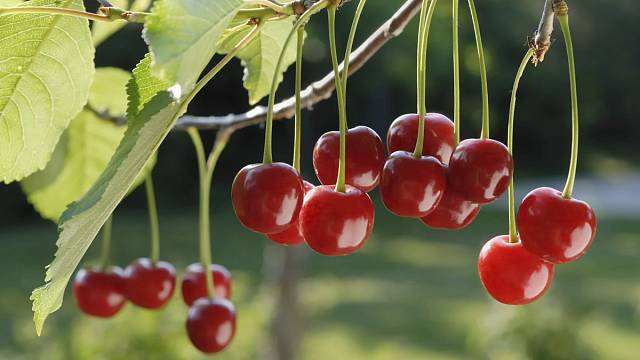 Višně 1