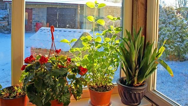 Pokojové rostliny v zimě