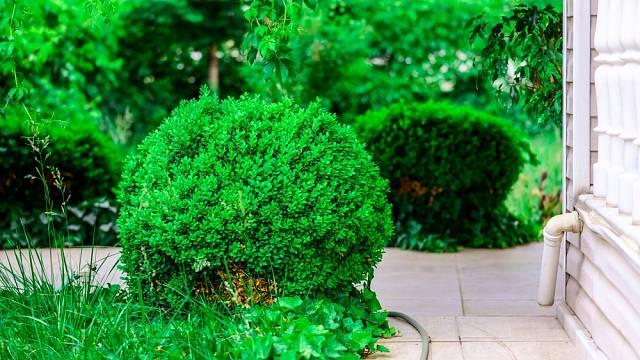 Buxusy ozdobí také okolí domu