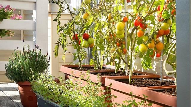Na rajčata potřebujete nejen opěry, ale i hodně zeminy