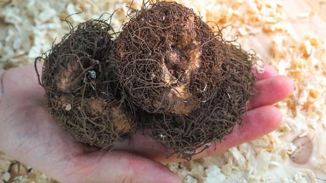 Hlízy begónií není třeba ukládat do pilin nebo rašeliny jako jiřinky, ale máte-li světlý sklep, menší přikrývka z pilin jim prospěje.