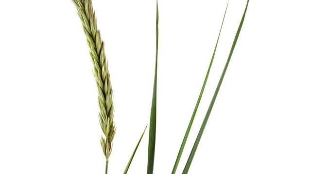Typická výběžkatá tráva Leymus arenarius