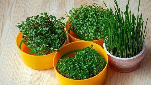 Hydroponie je výborným prostředkem k pěstování klíčků a rychlených bylinek.