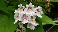 Nádherné květy katalpy
