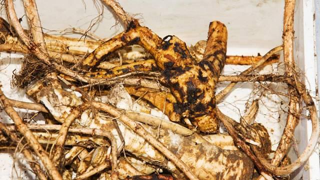 Kořeny kostivalu lékařského