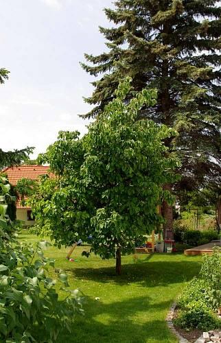 Dvě původní vzrostlé dřeviny vytvářejí intimitu zahrady při pohledu od vstupních vrátek.