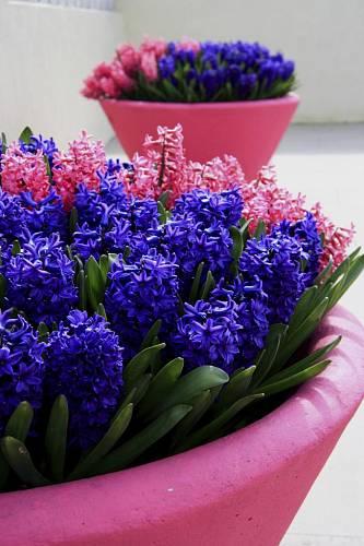 Obří květináče se prodávají i ve výrazných barvách