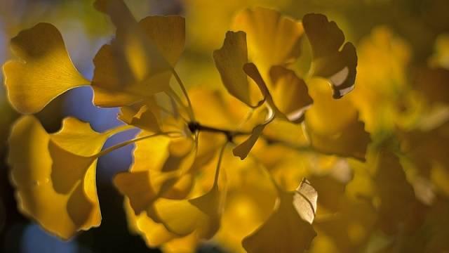 Na podzim se listy zbarvují dožluta.