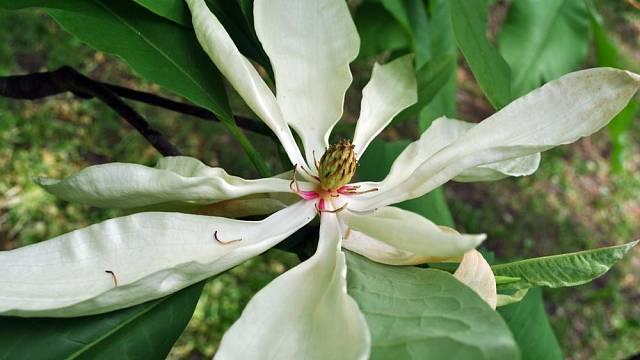 Šácholan trojplátečný (Magnolia tripetala)