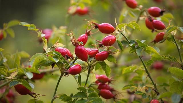 Planou šípkovou růži měly v lásce už naše babičky, které na šípkový čaj nedaly dopustit.