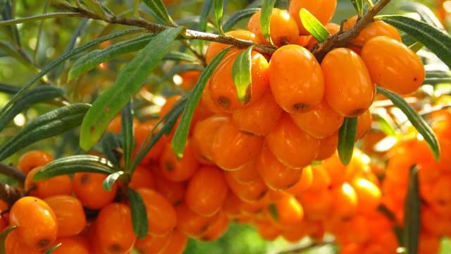Keře rakytníku jsou na podzim doslova obalené plody.