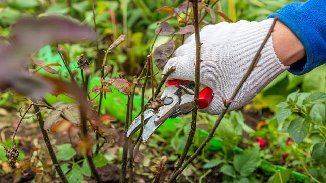 podzimni pece o ruze