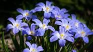 Ladoničky mají květy ve tvaru hvězdiček.