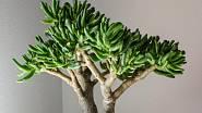 Crassula ovata gollum ve stylu bonsaje