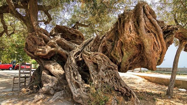 Tento olivovník na ostrově Zakyntos má dva tisíce let
