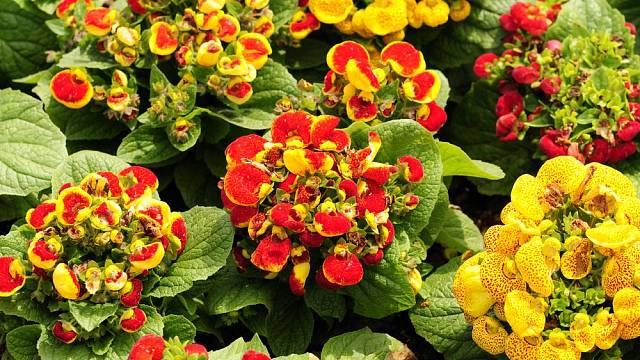 Květy pantoflíčku zaujmou neobvyklým tvarem