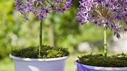 Okrasný česnek je možné pěstovat i v květináčích nebo mísách.