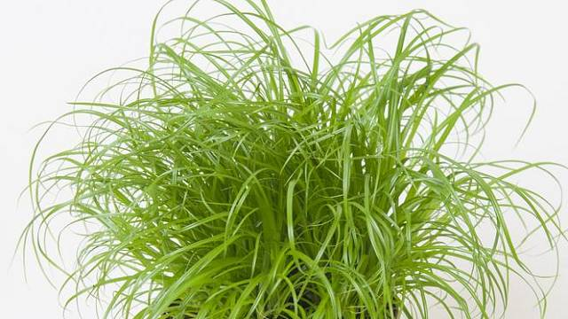 Šáchor střídavolistý (Cyperus alternifolius)