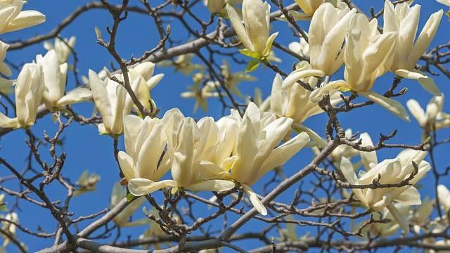 Šácholan zašpičatělý (Magnolia acuminata, syn. M. hypoleuca)