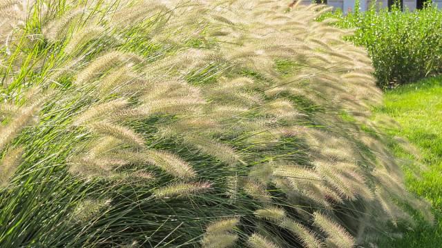 Příkladem trsnatíé trávy je třeba Pennisetum afopecuroides