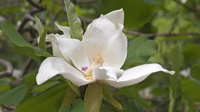 Šácholan velkolistý (Magnolia macrophylla)