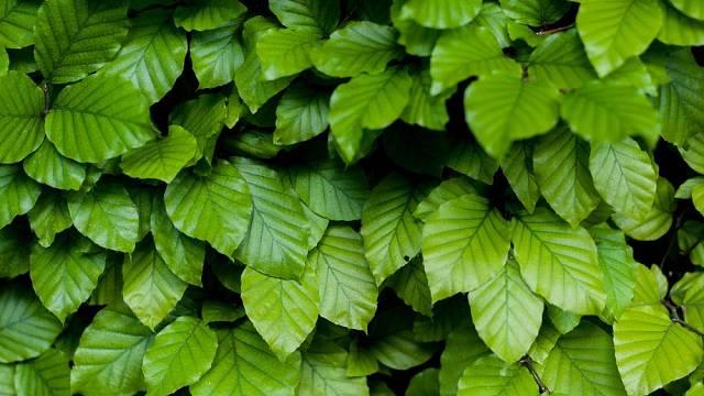 Habrové listí