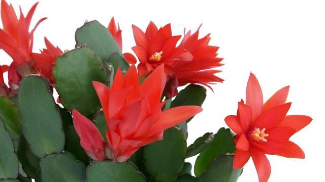 vanocni kaktusy