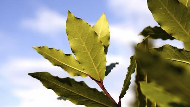 Víte, že listy vavřínu neboli bobkového listu vložené do mouky snižují výskyt molů?