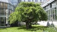 Ginkgo biloba v pražské botanické zahradě Na Slupi