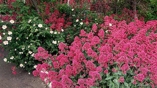 Mavuň červená bohatě kvete i bez pravidelné péče.